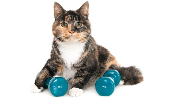 cat keeping fit with weights