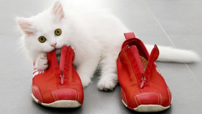 cat chewing shoes