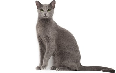 Russian Blue Cat Breed Information Pictures Characteristics Facts