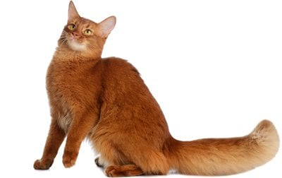 Somali Cat Breed Information Pictures Characteristics Facts