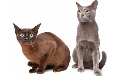 Burmese Cat Breed Information Pictures Characteristics Facts