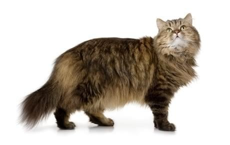 Norwegian Forest Cat Breed Information Pictures Characteristics Facts
