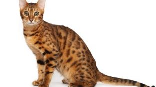 The bengal cat on a white background