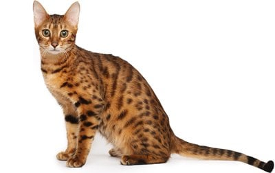 Bengal Cat Breed Information Pictures Behavior And Care