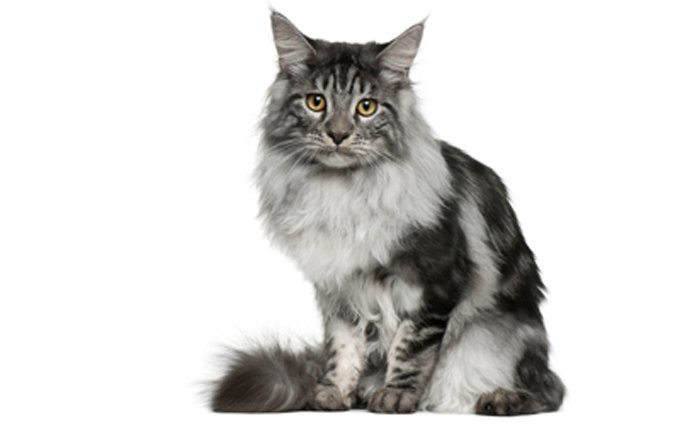 1-Maine-Coon-Cat-breed