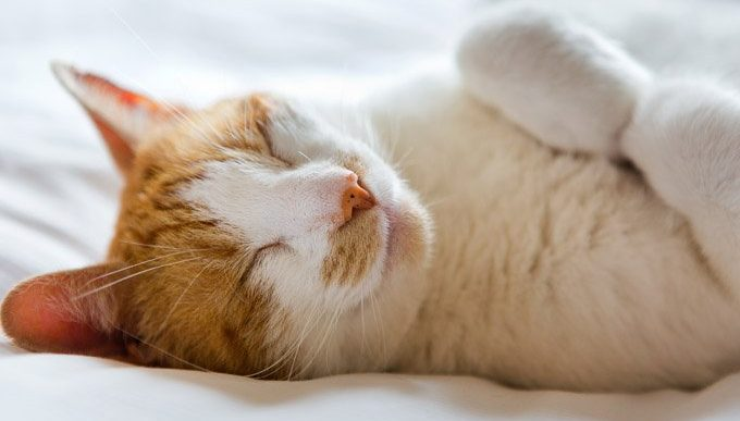 cat lying on bed looking happy during responsible pet owners month