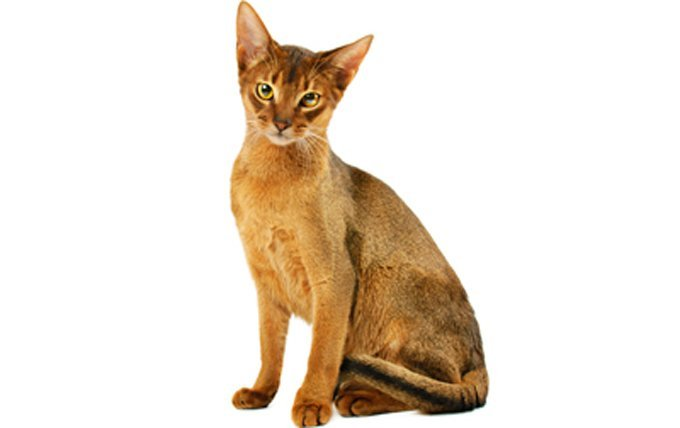 Abyssinian-cat-breed