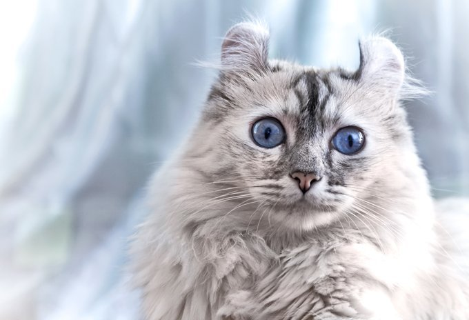White American curl cat
