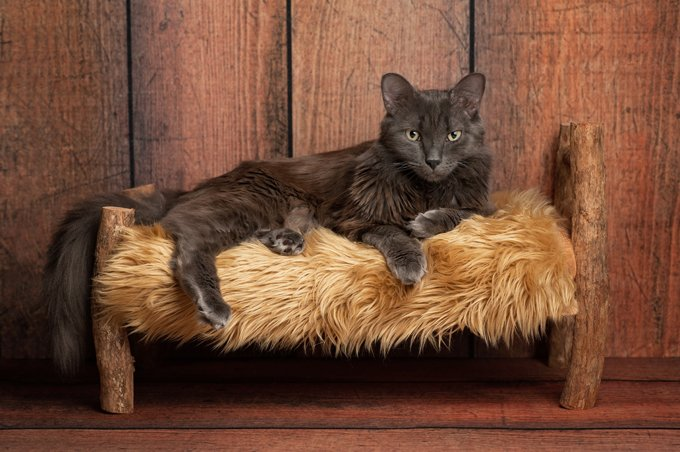 A grey Nebelung cat lying on a small rustic, wooden bed. The Nebelung is a rare breed, similar to a Russian Blue, except with medium length, silky hair. Shot in the studio on a weathered wood background.