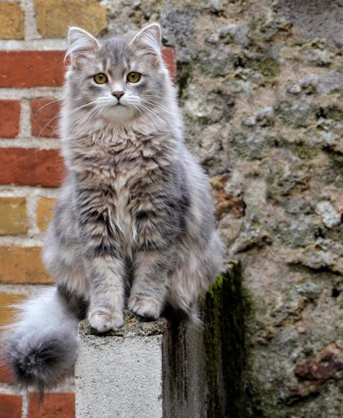 Portrait Of Siberian Cat Sitting Outdoors