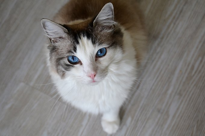 Portrait of a ragdoll cat with beautiful blue eyes looking at the camera .Ragdolls are large, laid-back, semi longhaired cats with captivating blue eyes