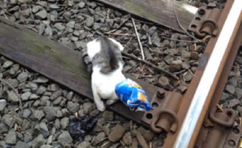 A photo of the cat on the train tracks with a bag over his head. (Photo credit: John Ross)