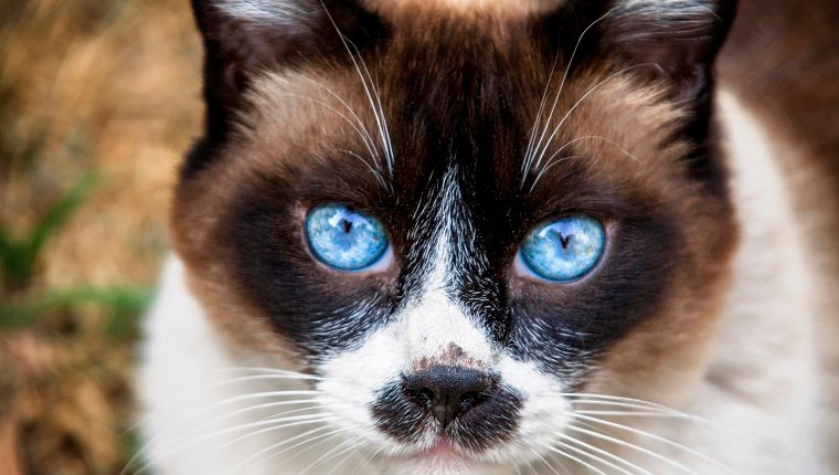 Old Snowshoe cat looking toward the camera in a garden the cat is a beautiful old cat the cat is happy The Snowshoe is a rare breed of cat originating in the United States of America in 1960, Snowshoes were first produced in Philadelphia when a Siamese breeder cat gave birth to three kittens with white feet.
