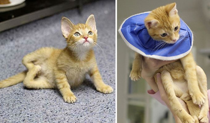 """Stockings rear legs were twisted like a pretzel, resembling a """"W"""" (left); the cat after surgery with straightened legs. (Photo credit: Tree House Humane Society)"""