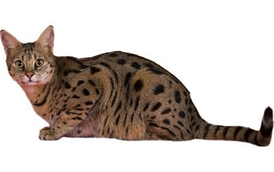 Savannah Cat Breed Information Pictures Characteristics Facts