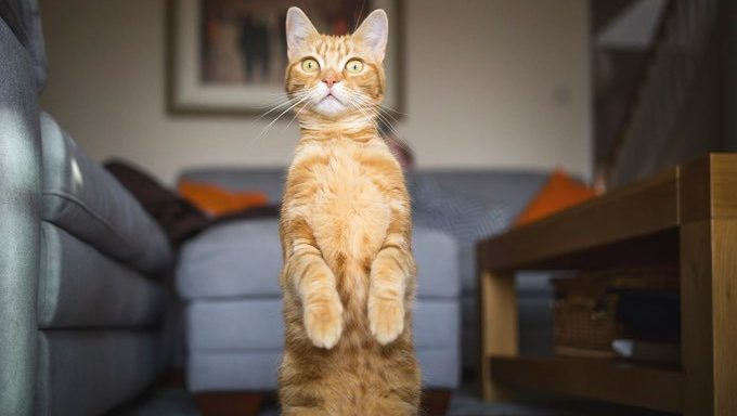 cat sitting on hind legs with front paws up
