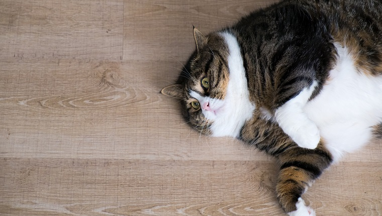 Overhead look of a fat tabby cat with white furs lying at the wood ground.