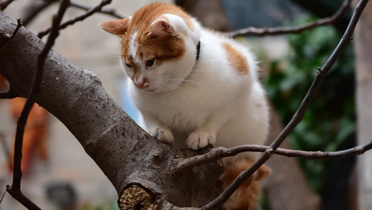A Turkish van cat on a tree n Venice, Italy