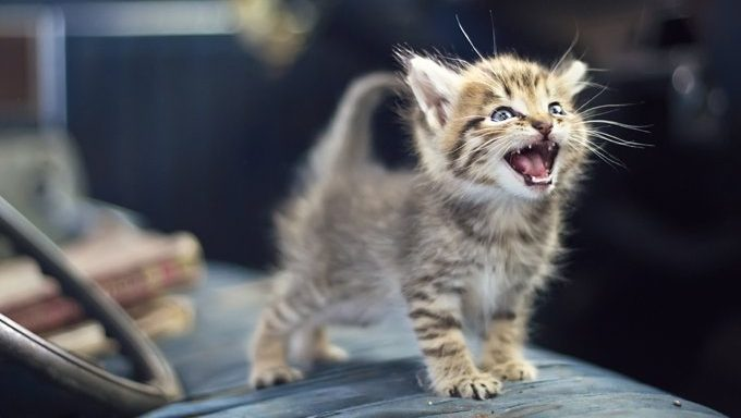 kitten making vocalizations