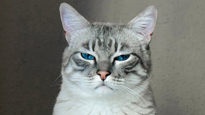 Portrait of a gray cat with blue eyes.