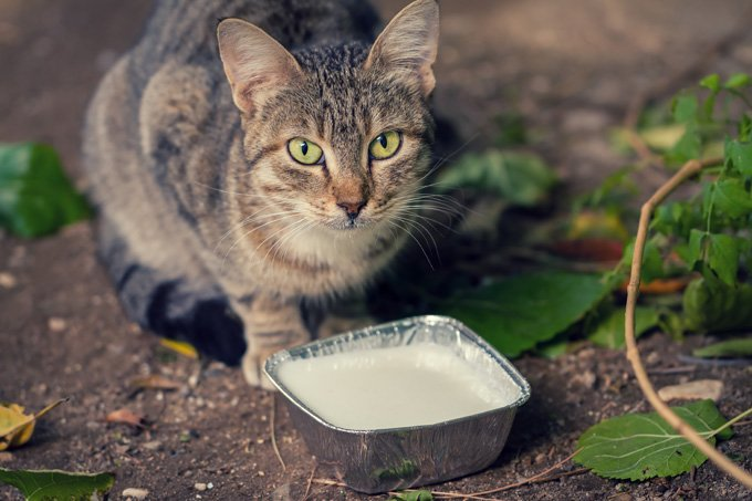 Why Cats Like Milk