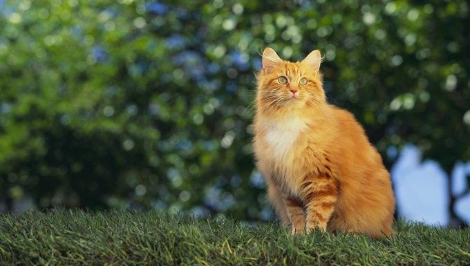 Cat Facts Why Orange Cats Are Usually Male Cattime