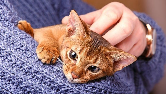 A brown kitten is held in a person's arms.