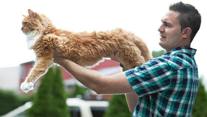 A man holds a fully stretched out, orange Maine Coon cat.