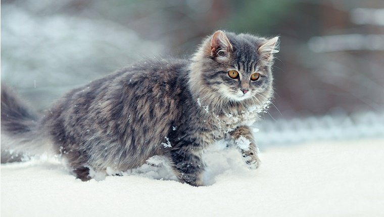 A cat with long hair walks through snow. Care for feral cats in winter.