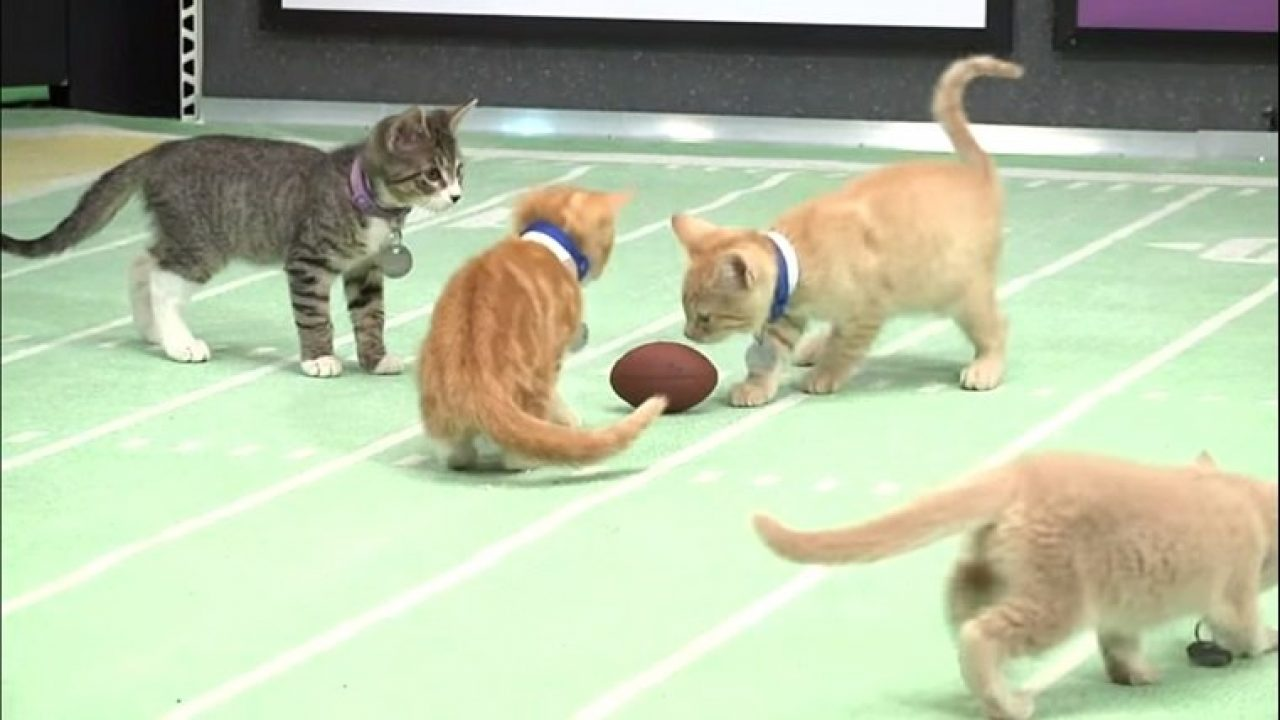 100 Rescue Cats To Appear In Kitten Bowl III - CatTime