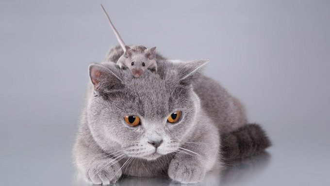 cat with mouse on head