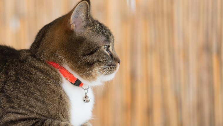 A cat wears an orange collar with a small bell attached.