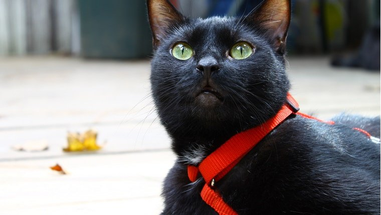 A black cat with an orange harness lies on a sidewalk.