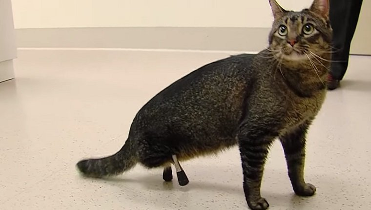 A cat walks around with a pair of short, metal hind legs.