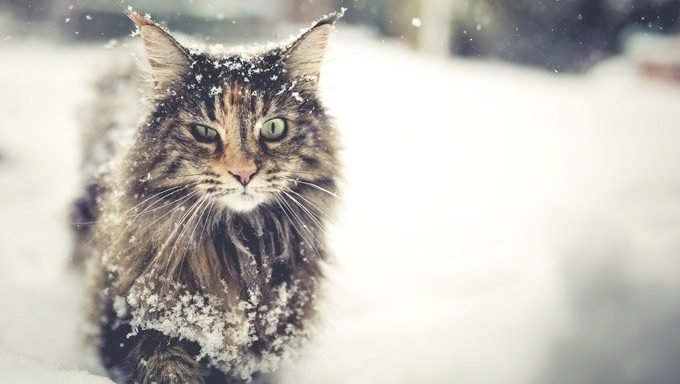 long haired cat in snow