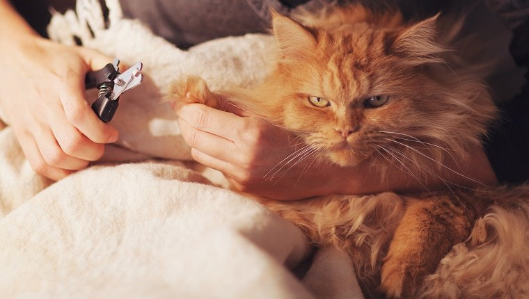 An orange cat is being held by a human using a nail trimmer.