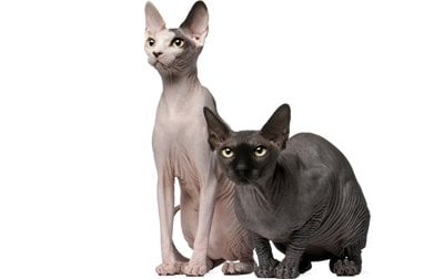 sphynx-cat-breed-pictures