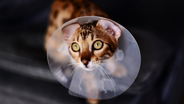 A Bengal Cat wears a medical cone around its neck during spay & neuter awareness month