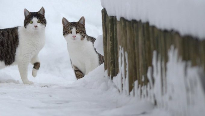 feral cats in snow