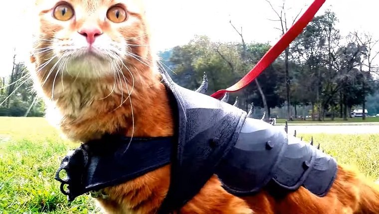 An orange cat wears spiked battle armor on his back.