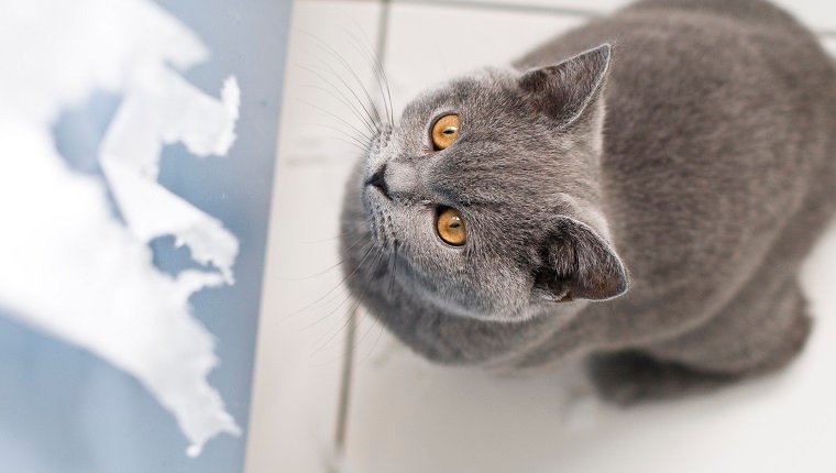 Naughty cat british shorthair kitten with large yellow eyes about to rip toilet paper.