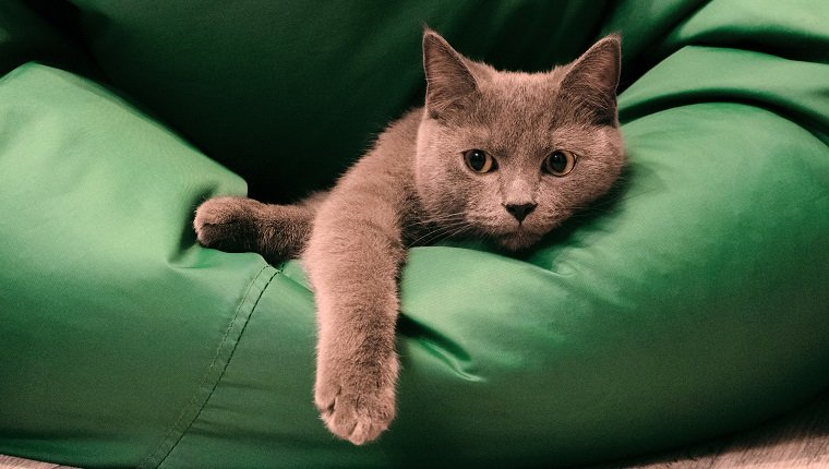 Young British Blue Shorthair Cat Lying on a Green chair bag. Pensive gray cat.
