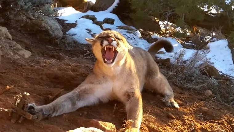 A cougar hisses as its front paw is stuck in a trap