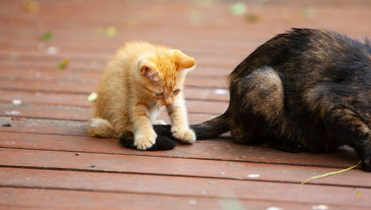 A ginger kitten playing with mom's tail
