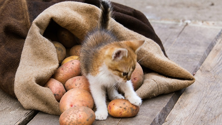 Little red kitten play with Fresh harvested potatoes on a rough wooden palette.