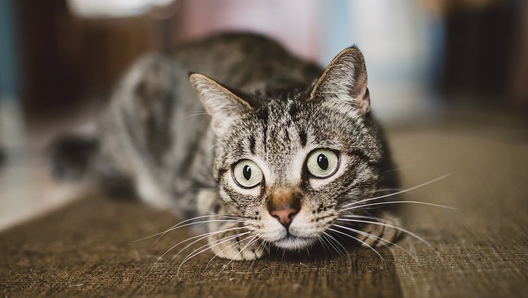 Portrait of staring cat crouching on carpet at home