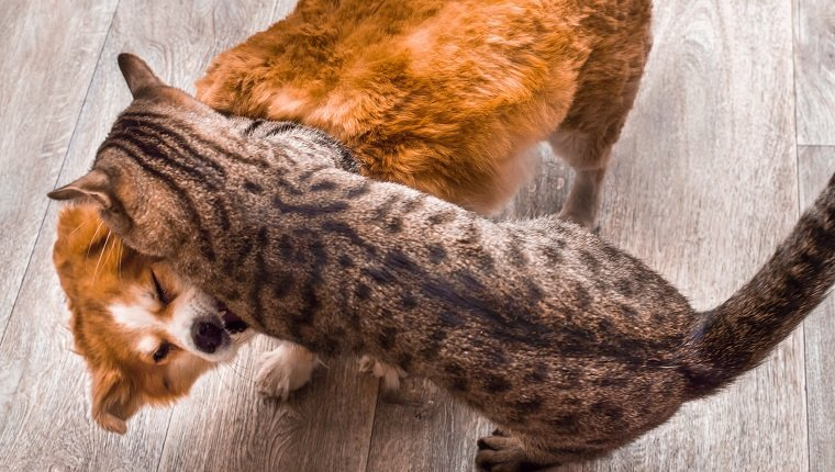 Closeup portrait of cat and dog fight.