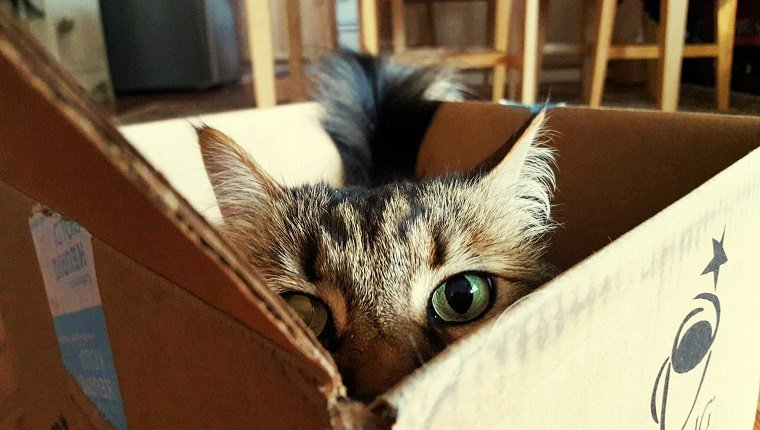 Portrait Of Maine Coon Hiding In Box