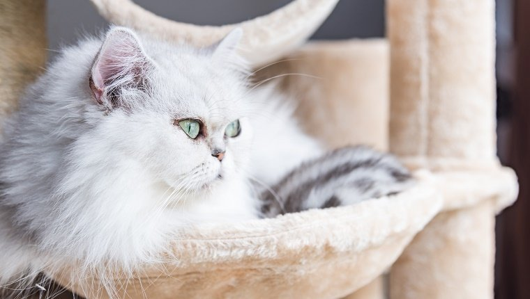 Close up of beautiful american shorthair cat sit and looking on wooden cat tower in cat farm.