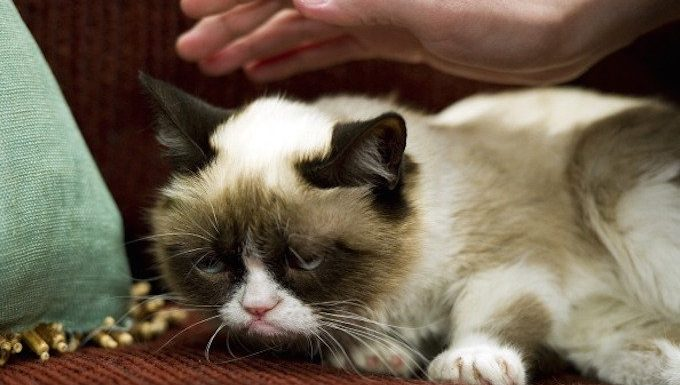 """AUSTIN, TX - MARCH 7: A fan caresses the head of the cat """"Tardar Sauce,"""" better known by its viral Internet meme name """"Grumpy Cat,"""" during a press event during the 2013 SXSW Music, Film + Interactive Festival on March 7, 2013, in Austin, Texas. Grumpy Cat has landed a movie deal through Broken Road Productions. (Photo by Daniel Petty/The Denver Post via Getty Images)"""